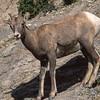 Bighorn ewe.  Wilcox countain, Canadian Rockies, Canada.