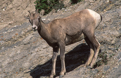 Bighorn ewe.  Wilcox countain, Canadian Rockies, Canada.