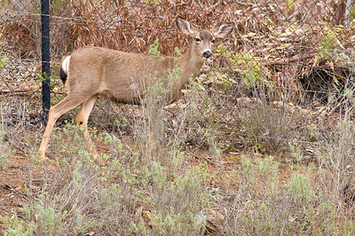 Doe mule deer on our property.  3666 Bumann road, Olivenhain, California.