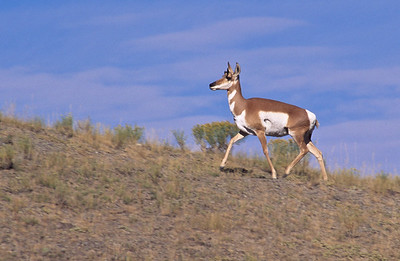 Pronghorn antelope.  From dirt road between Gardner and Mammoth hot springs.  Yellowstone NP, Wyoming.