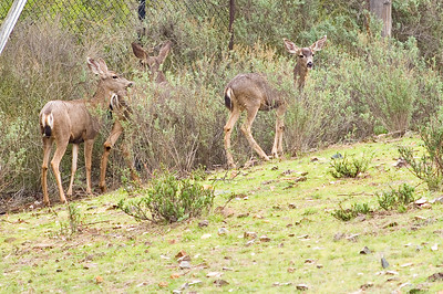 More mule deer on our property.  3666 Bumann road, Olivenhain, California.