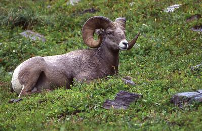 Bighorn ram resting.  Logan Pass, Glacier NP, Montana.