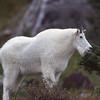 Mountain goat.  Logan Pass, Glacier NP, Montana.