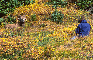 Bighorn ram and Richard.  Wilcox mountain, Canadian Rockies, Canada.