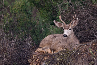 Buck mule deer.  Bumann road, Olivenhain, California.