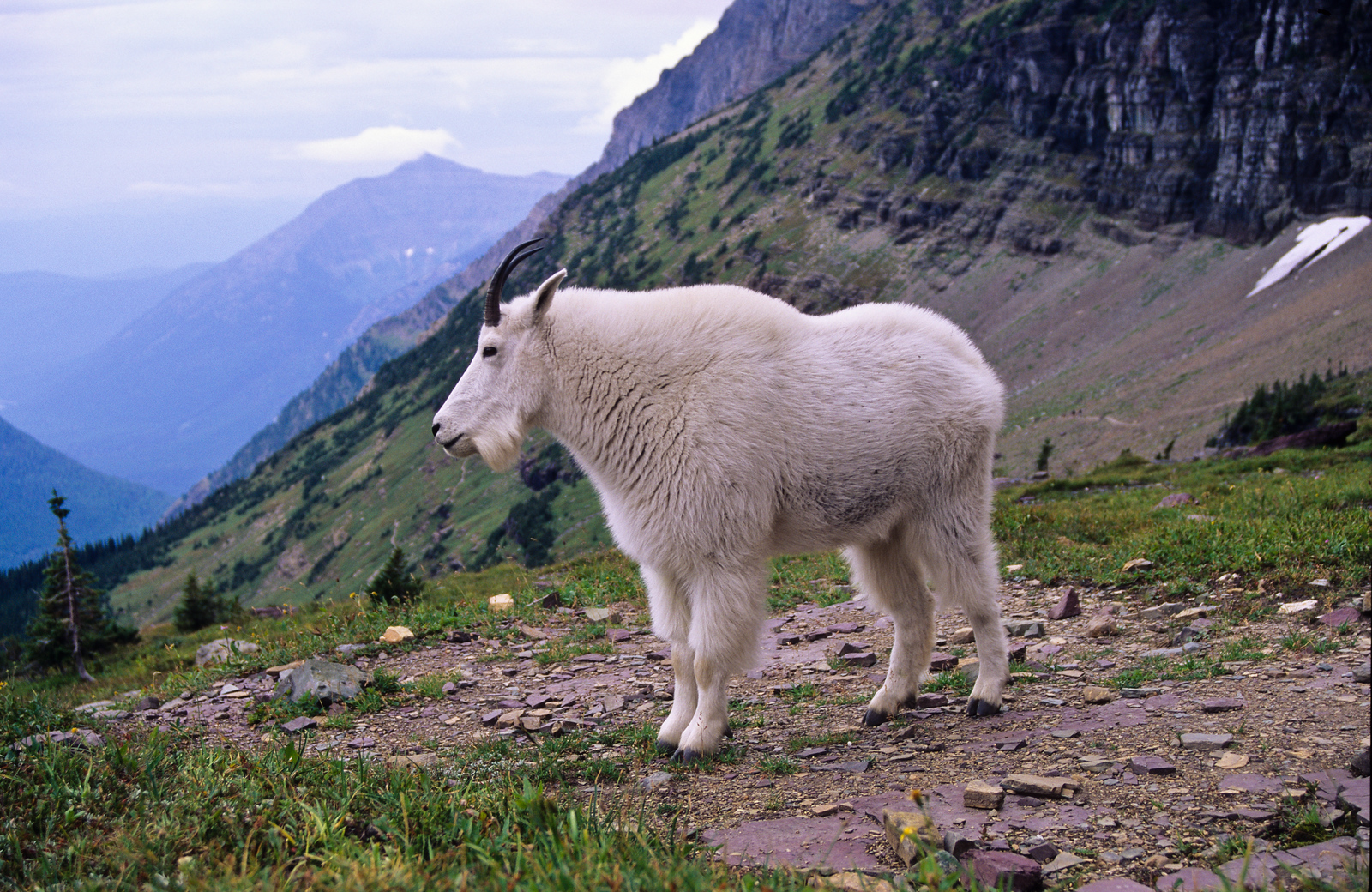 We first saw this mountain goat when it was near the snow patch in upper right.  For unknown reasions, the goat walked up to us.  This was taken with a wide angle lens, with goat about 12 feet away.  We could hear it breath.  Logan Pass, Glacier NP, Montana.
