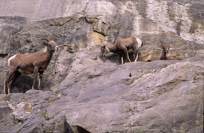 Bighorn ewe and kid. Lake Edith, Jasper NP, Canadia.