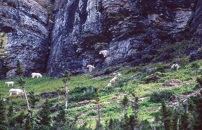 Mountain Goats grazing near canyon wall.  If danger threatens, these goats can run up that vertical wall.  Logan Pass, Glacier NP, Montana.