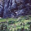 Mountain Goats grazing near canyon wall.  If danger threatens, these goats can run up that vertical wall.  Logan Pass, Glacier NP, Montana.