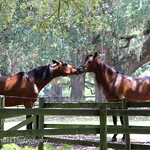 Horses Kissing at Middleton Equestrian Center