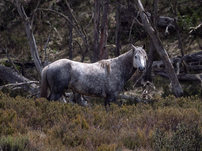 Snowy Mountain Brumby