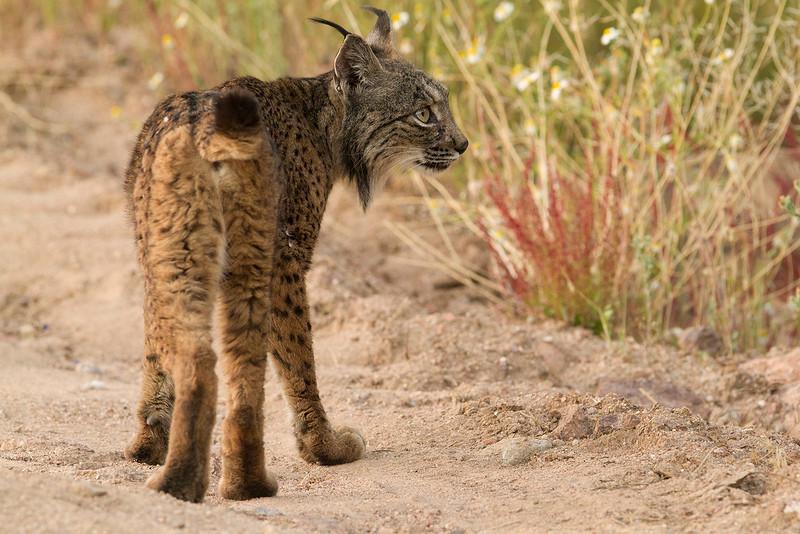 Iberian Lynx in the wild (Sierra Morena)