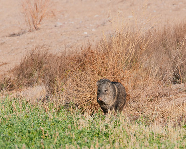 Javalina, Bosque Del Apache National Wildlife Refuge, NM