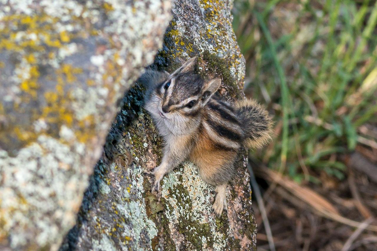Least chipmunk (Tamias minimus). Estes Park, Colorado, USA.