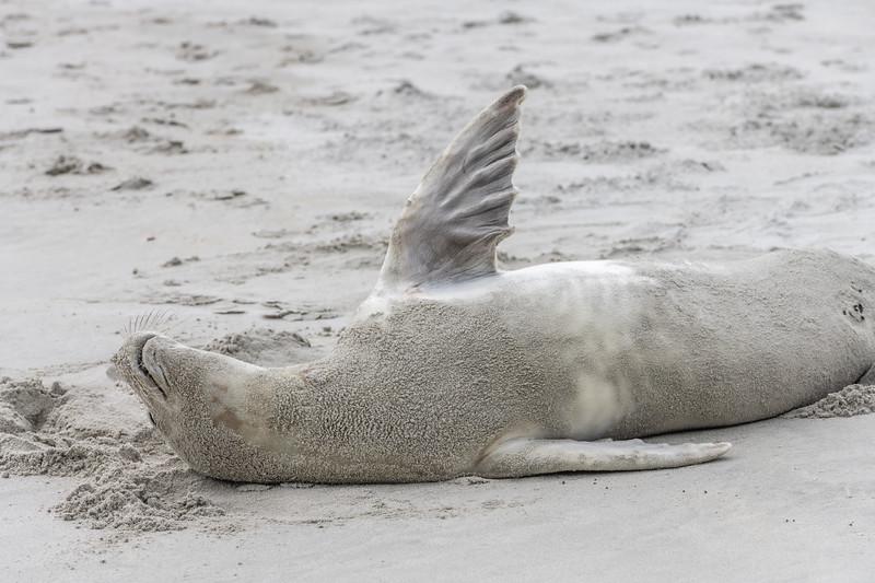 Crabeater seal (Lobodon carcinophaga). Tomahawk Beach, Dunedin, New Zealand.