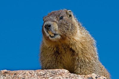 Marmot, Mt. Evans, CO