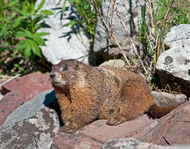 Marmot, White River National Forest, Colorado