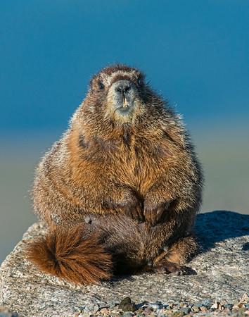 Marmot, Mt. Evans Wilderness area, CO