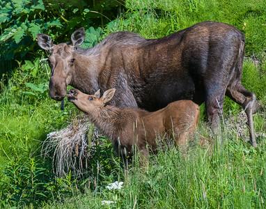 Moose, Homer Alaska