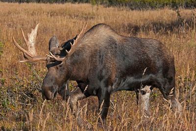Moose, Chugach State Park, Alaska