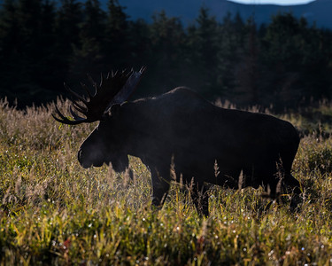 Moose, Chugach Mountains, AK