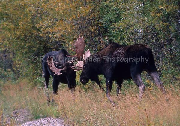 Bull Moose, North America