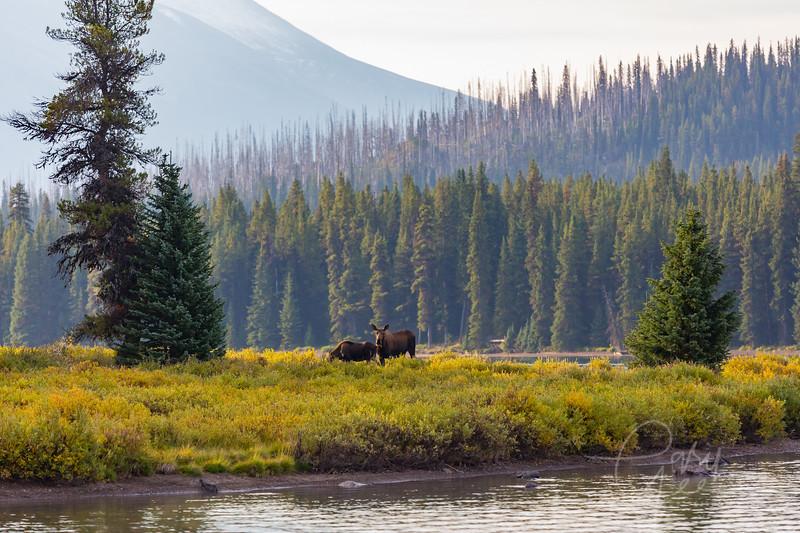 Cow & Calf Moose Jasper Canada