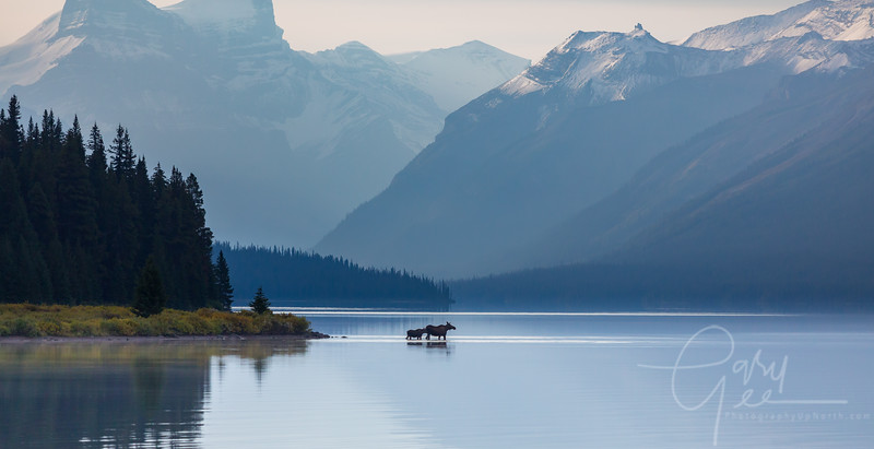 Cow and Calf Moose Maligne Lake Morning