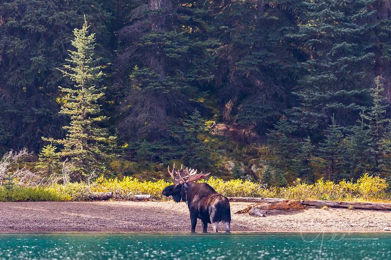 Bull Moose Maligne Lake Jasper National Park