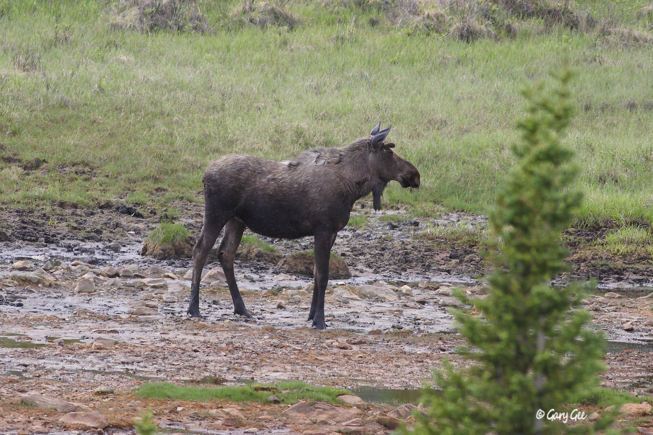 Young Bull Moose on Denali Highway
