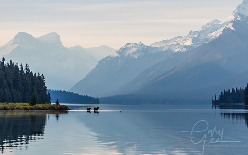 Moose and a Loon on an early morning in Jasper National Park