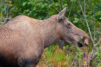 Moose near Homer, Alaska
