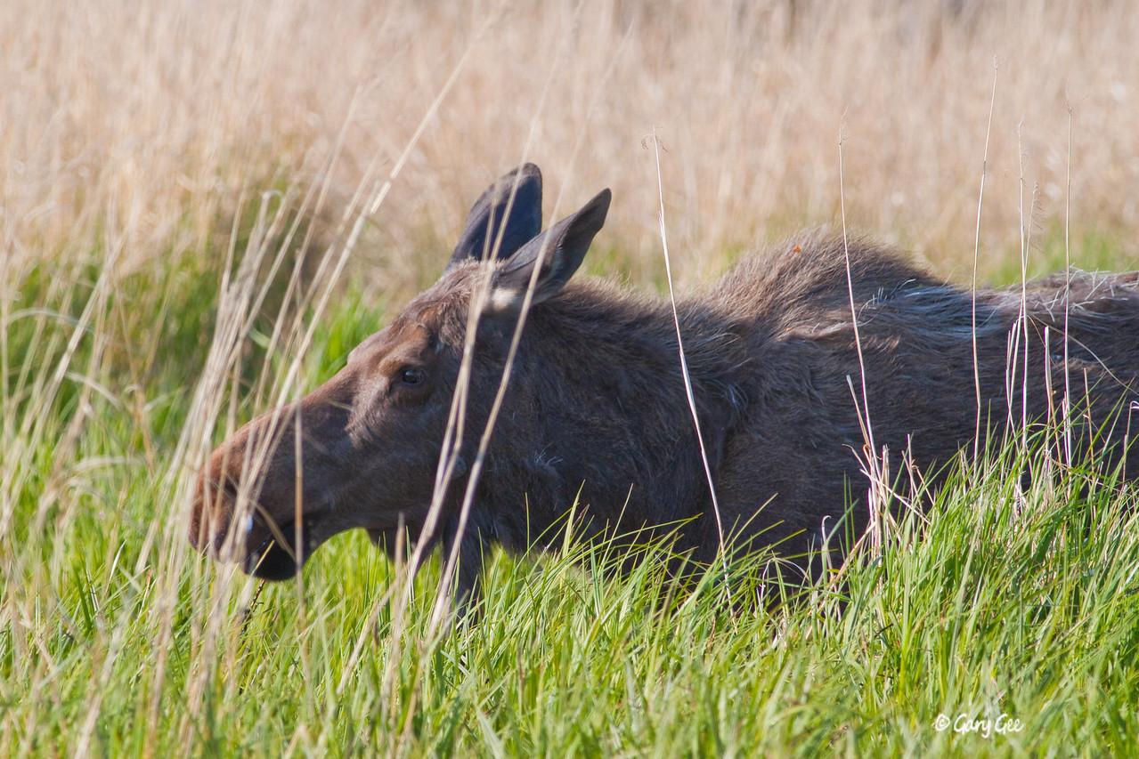 Moose in Alaskan marsh