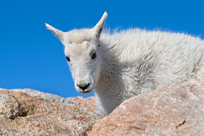 Mountain Goat, Mt. Evans, CO