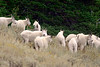 587 Mountain Goats