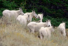 591 Mountain Goats
