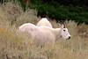 660 Mountain Goats