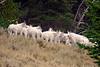 617 Mountain Goats