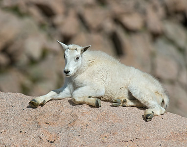 Mountain Goat, Mt. Evans Wilderness area, Co