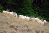 578 Mountain Goats