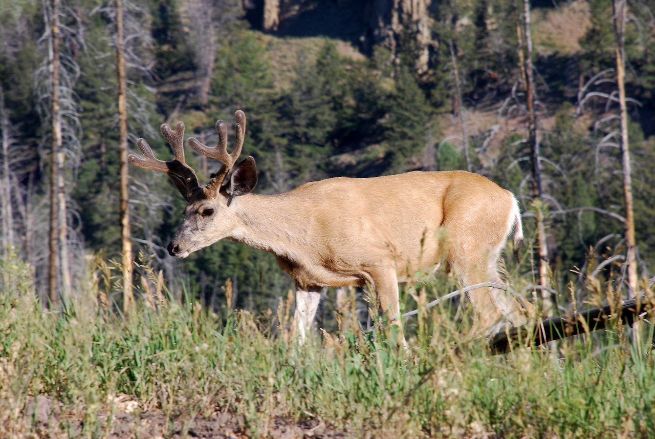 Mule deer (Odocoileus hemionus). Yellowstone National Park, USA.