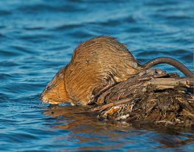 Muskrat, Squaw Creek National Wildlife Refuge, MO