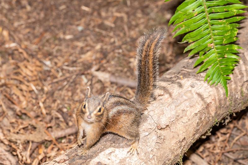 Siskiyou chipmunk (Neotamias siskiyou). Boy Scout Tree Trail. Jedediah Smith Redwoods State Park.