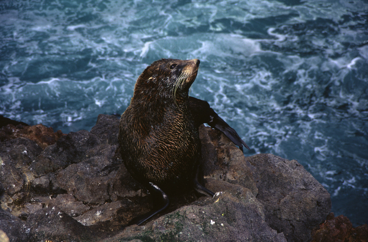 New Zealand fur seal  (Arctocephalus forsteri), Cape Saunders