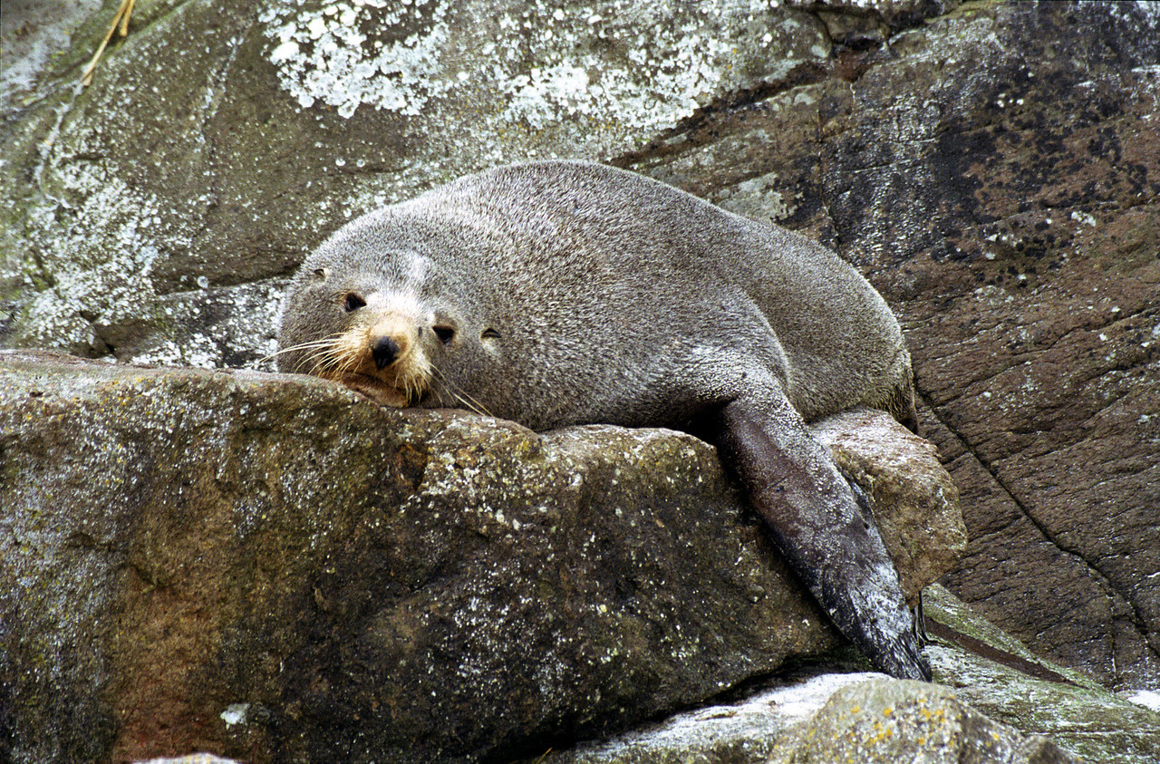 New Zealand fur seal (Arctocephalus forsteri), Victory Beach