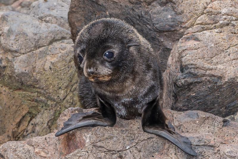 New Zealand fur seal / kekeno (Arctocephalus forsteri). Sandymount, Otago Peninsula.