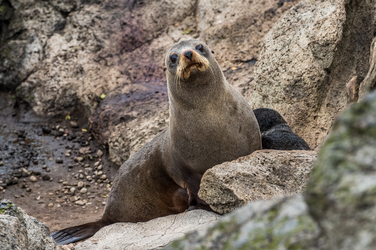 New Zealand fur seal / kekeno (Arctocephalus forsteri). Heyward Point, Dunedin.