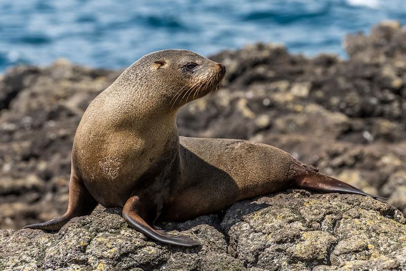 New Zealand fur seal / kekeno (Arctocephalus forsteri). Puddingstone Rock, Otago Peninsula