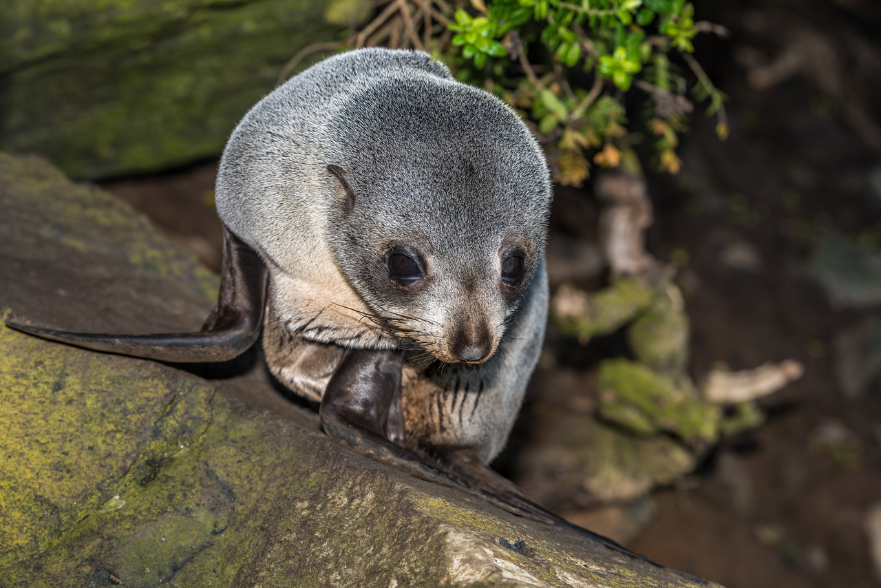New Zealand fur seal / kekeno (Arctocephalus forsteri). Waterfall Bay, Otago Peninsula
