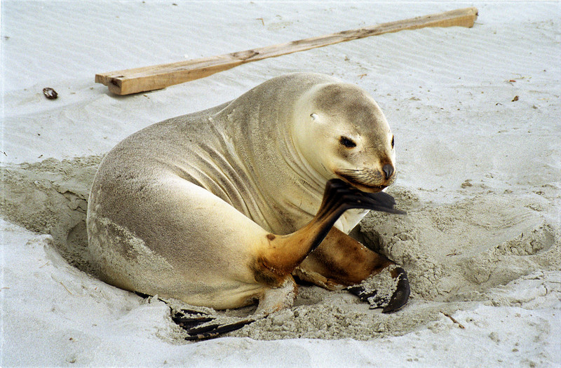 Female New Zealand sea lion (Phocarctos hookeri), Victory Beach